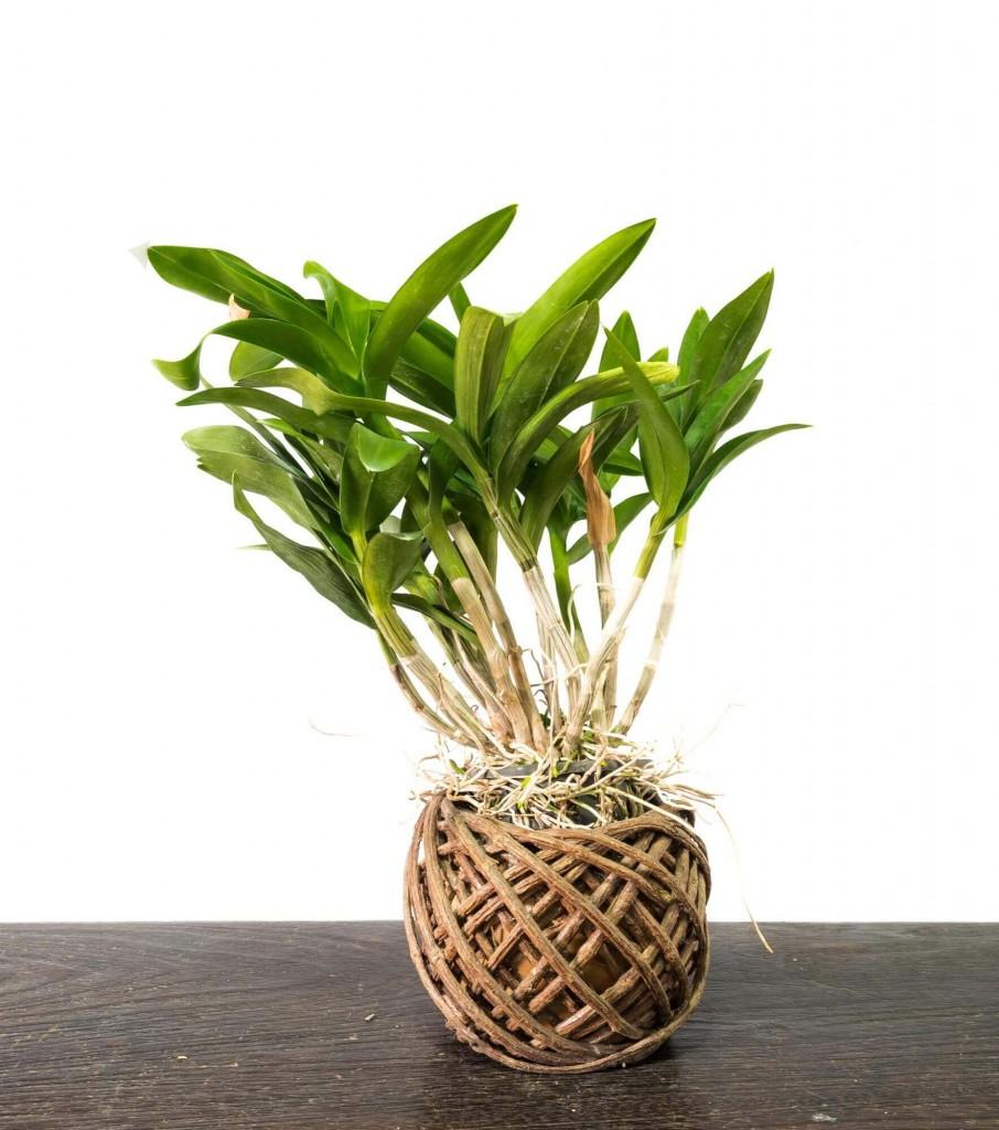 Saiba 4 técnicas para dividir e multiplicar a sua orquídea