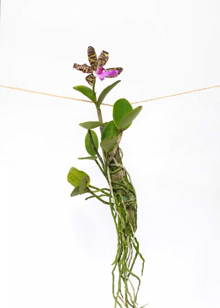 Adubo orgânico é bom para orquídeas?