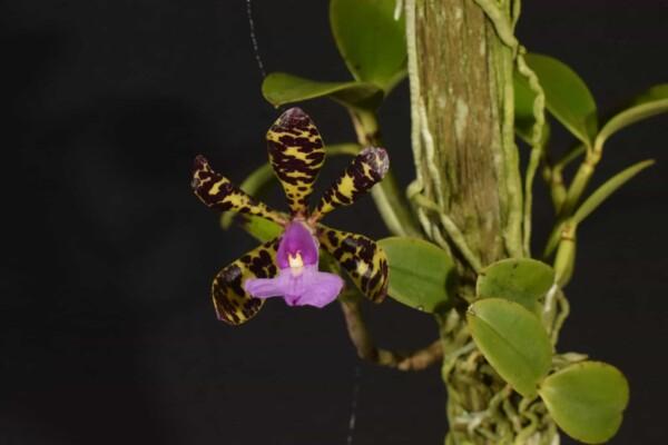 Cattleya Aclandiae sp tipo no tronco (sem flor)