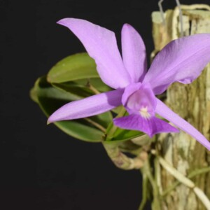 Cattleya Walkeriana sp tipo no tronco (sem flor)