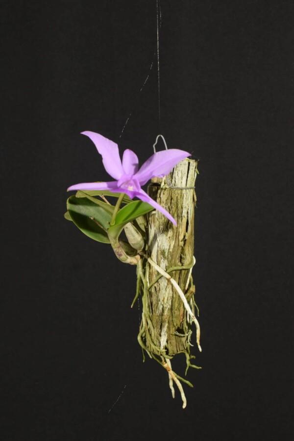 Cattleya Walkeriana sp tipo no tronco (sem flor)