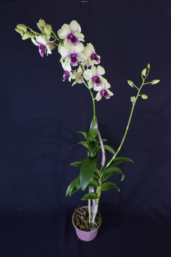 Denphal Amarela Labelo Lilás