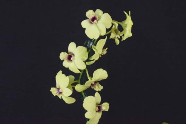 Denphal Amarela com Meio Lilás