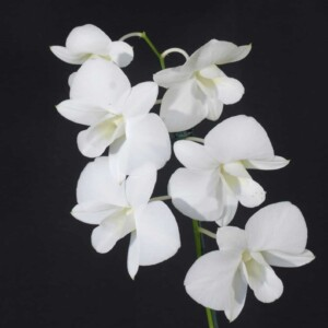 Denphal Branca Flor Grande