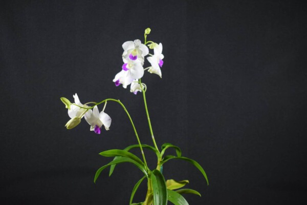 Denphal Branca Labelo Lilás