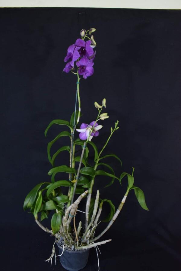 Denphal Lilás