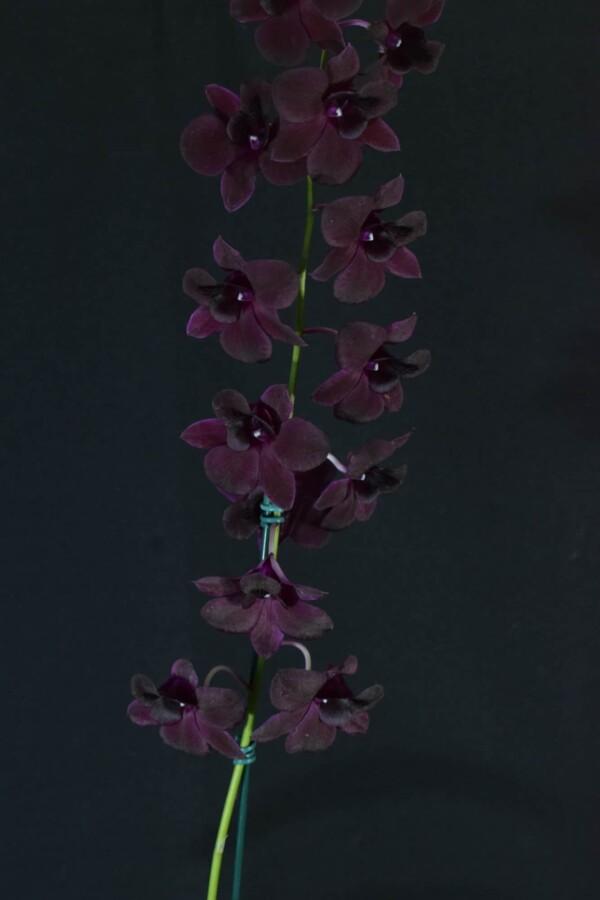 Denphal Lilás Escuro