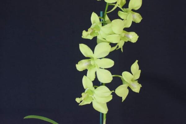 Denphal Verde Cana