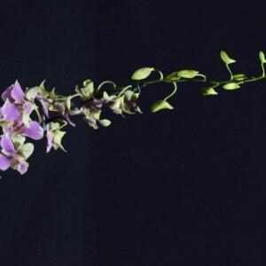 Denphal Verde Claro com Lilás