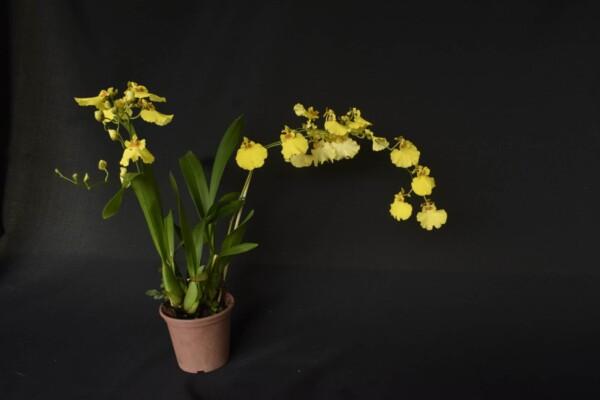 Oncidium Amarelo com Flor Grande
