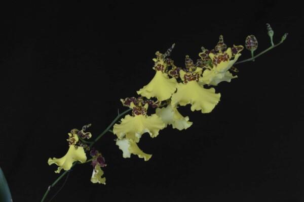Oncidium Amarelo com Marrom