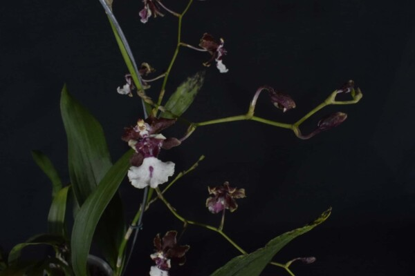 Oncidium Sharry Baby (Chocolate)