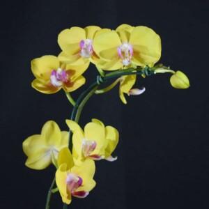 Phalaenopsis Amarelo Forte com Labelo Lilás