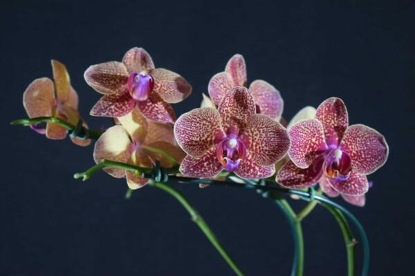 Phalaenopsis Amarela com Pintas Vinho