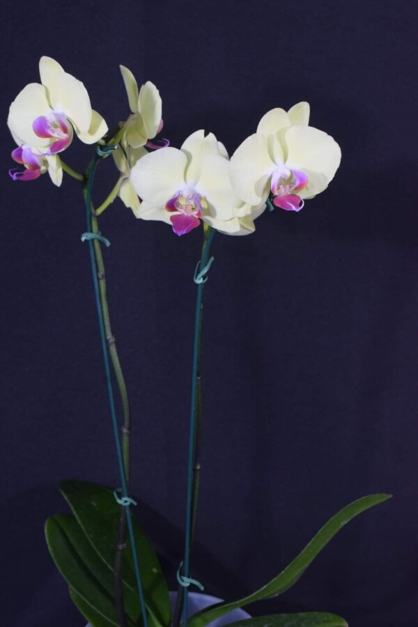 Phalaenopsis Amarelo Suave com Labelo Lilás