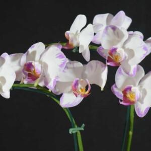 Phalaenopsis Branco com Borda Lilás