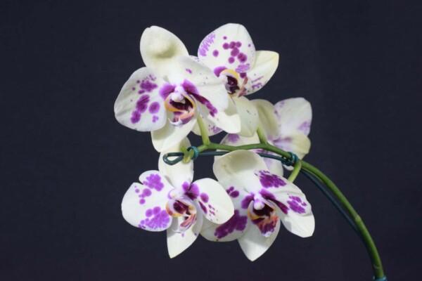 Phalaenopsis Branca com Pinta Lilás