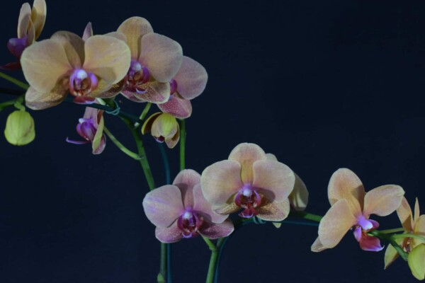 Phalaenopsis Salmão