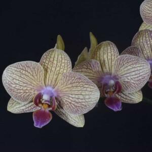 Phalaenopsis Salmão com Listras Lilás