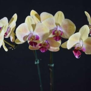 Phalaenopsis Salmão com Lilás Rajado