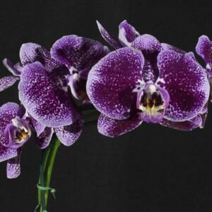 Phalaenopsis Vinho Escuro com Branco