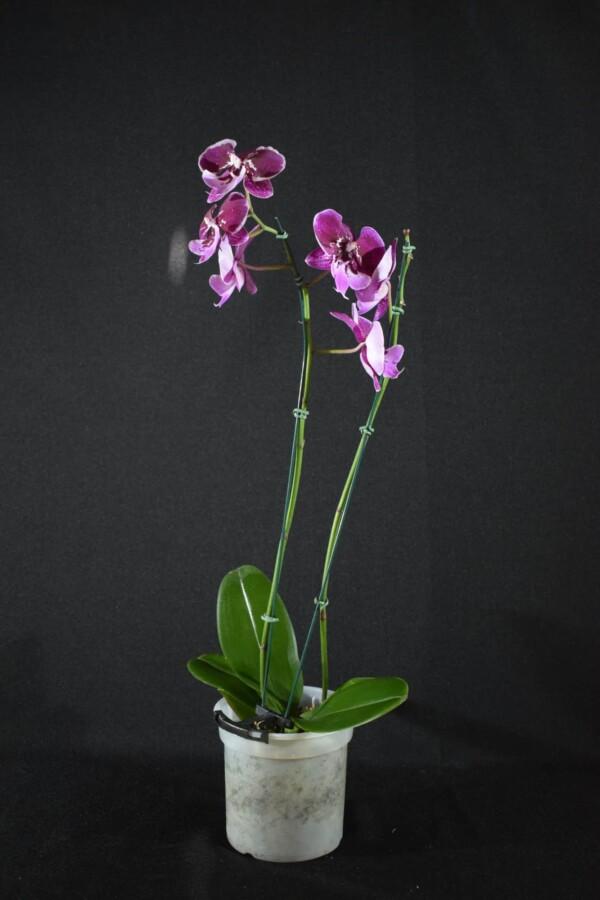 Phalaenopsis Vinho com Lilás