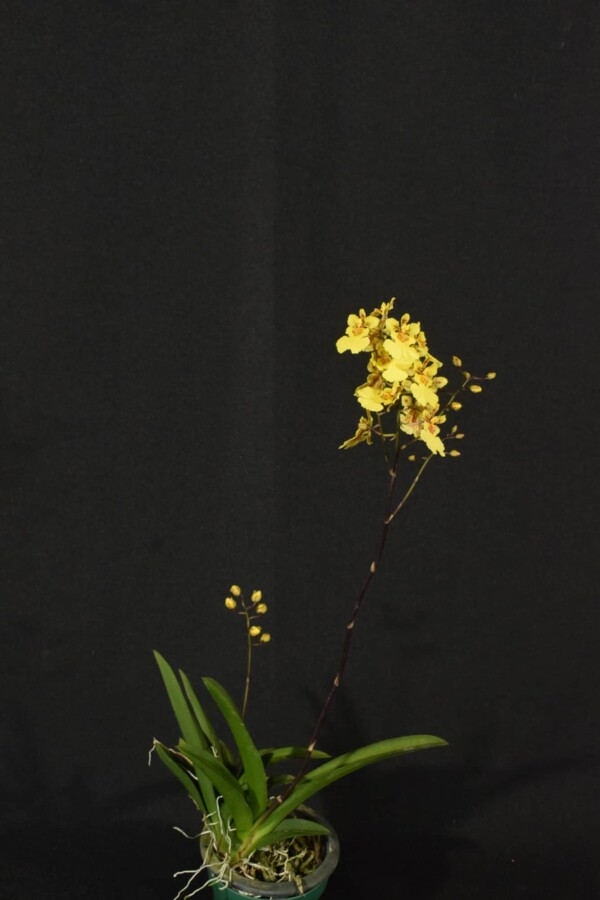 Tolumnia Amarela