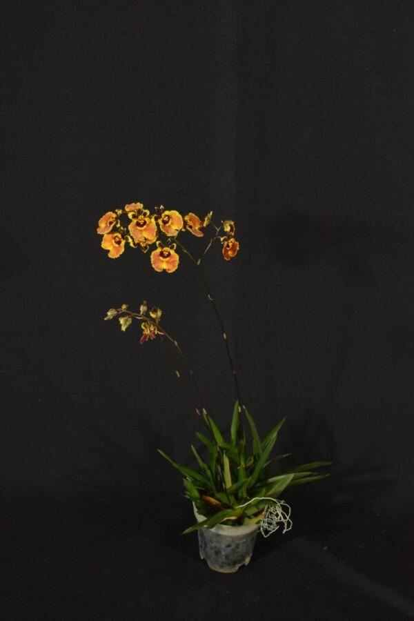Tolumnia Marrom com Amarelo