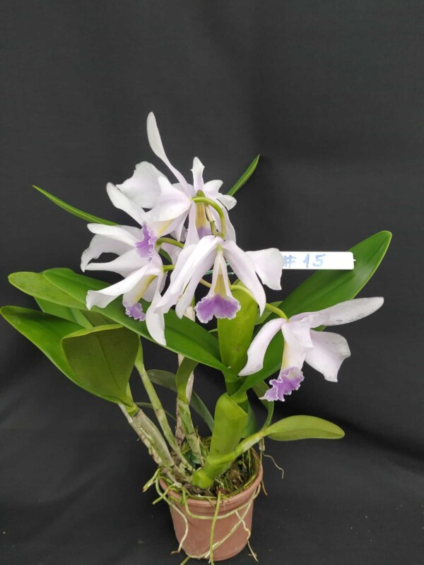Cattleya Híbrida H#15 Portia Ceruela