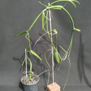 Orquídea Vanilla (sem flor)