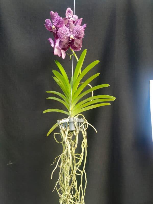 Vanda Lilas com Gradiente