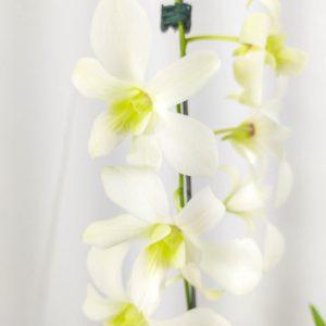 Denphal Branca com Flor Curva