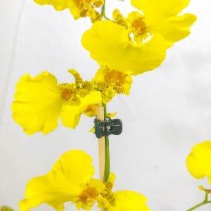 Oncidium Amarelo Pequeno